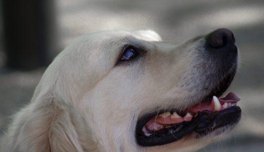 大型犬をペットホテルに預けるより快適に過ごせる方法とは?
