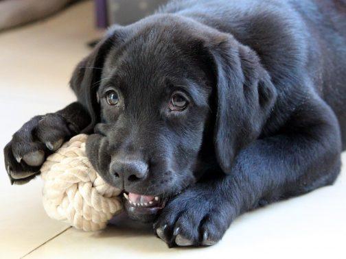 おもちゃで遊ぶ大型犬