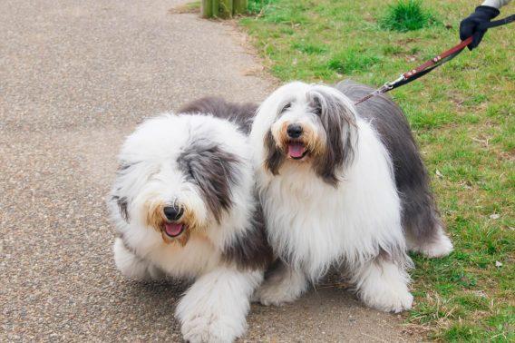 大型犬達の散歩