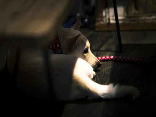 うつむきがちな犬