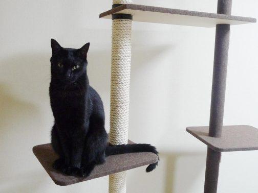 キャットタワーに乗る黒猫