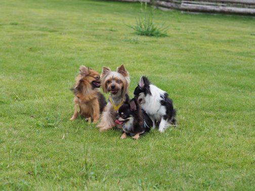 大勢の犬が芝生で遊ぶ