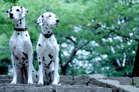 凛とした2頭の犬