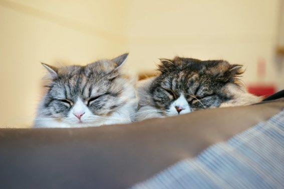 室内で仲良く寝る猫達