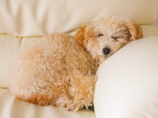 自宅で安眠する犬