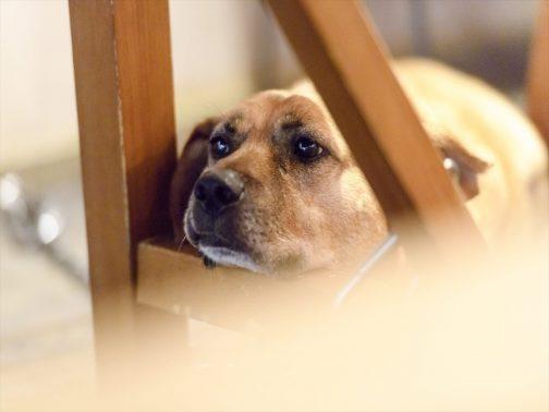 寂しがる犬