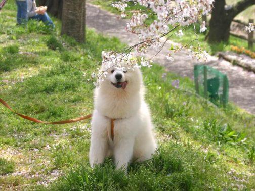 桜の下で座る犬