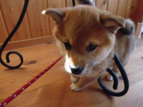室内を散歩する犬