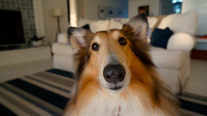 カメラ目線のコリー犬