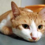うつぶせになる猫