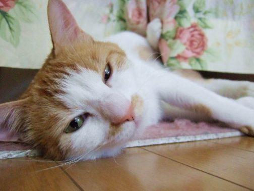 家でダラダラする猫