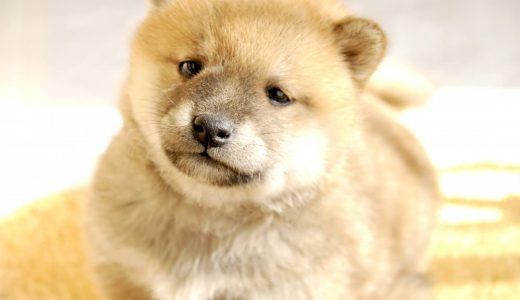 【子犬の育て方】生後2ヶ月以降家に来た愛犬が快適に過ごせる方法とは?