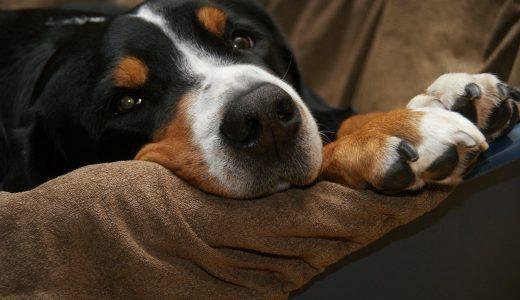 大型犬を旅行の際留守番させる為に|ペットホテル・シッターの比較