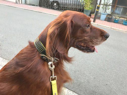 大型犬の散歩風景
