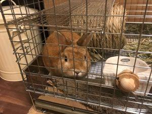 ケージ内で過ごすウサギ