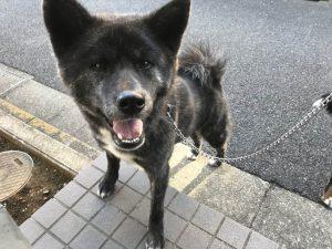 秋田犬の散歩