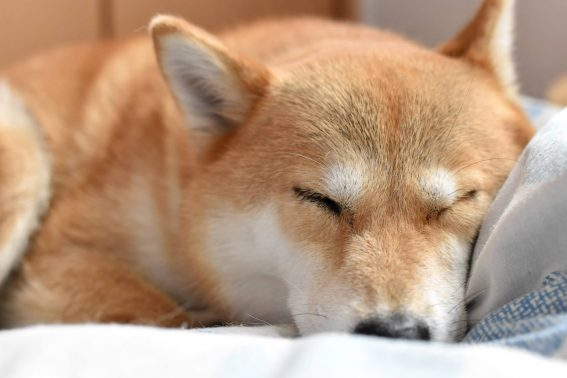 室内で眠る柴犬