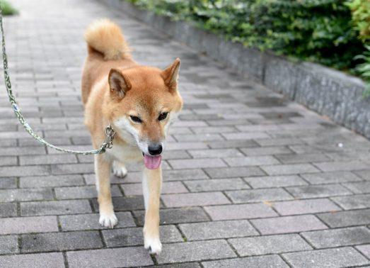 愛犬をシッターが散歩